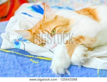 Nice adult red cat in bliss in bed