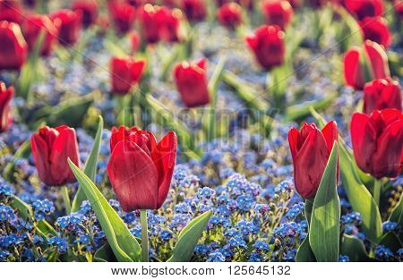 Red tulips and forget-me-not flowers planted in the park. Beauty in nature.