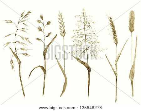 Hand drawn watercolor ilustration. Meadow grass types sepia monochrome color. Set of plants for ecological nature design.