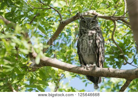 Spotted Eagle-owl (bubo Africanus) Perched On A Branch
