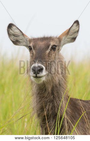 Waterbuck (Kobus ellipsiprymnus) standing in tall grasses amongst trees