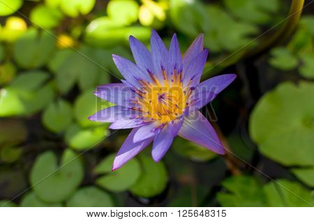 Water lilly in a pond with green leaf
