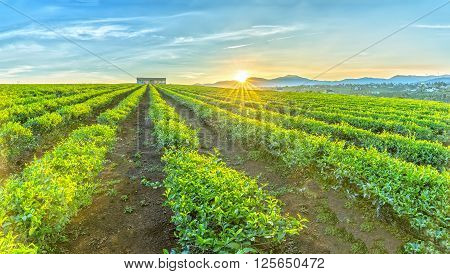 Tea plantations hill Plateau with rows untouched tea straight away house pulled collective, sun rising from summit welcomed new day on beautiful bazan this red lands