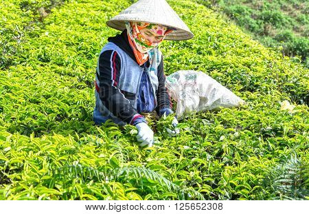 Lam Dong, Vietnam - 3rd March, 2016: Farmer woman picking tea with deft double harvest for processing fresh tea leaves on hill of tea in the morning in the highlands Lam Dong, Vietnam