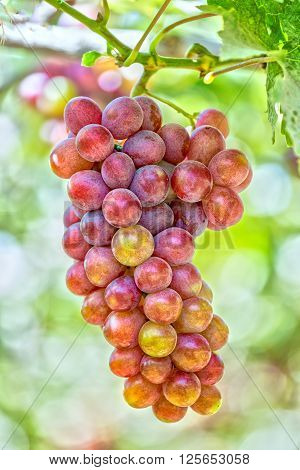 Red ripe grapes in garden with clusters associated plump sleek, this material used to make red wine business in Ninh Thuan, Vietnam