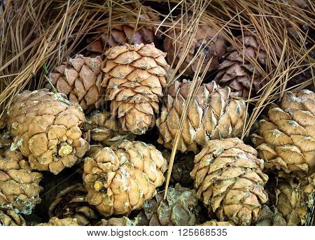 The pine cones in the resin in the pine needles.