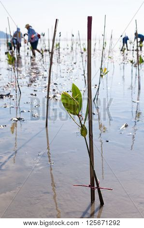 Young green mangrove tree planted by volunteers in a swamps at reserve site / save the world in Phuket Thailand