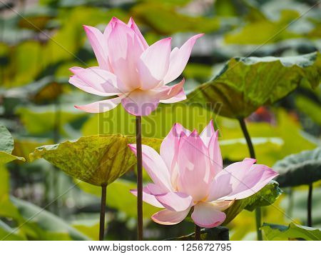 Blooming pink lotus waterlily with green leaves