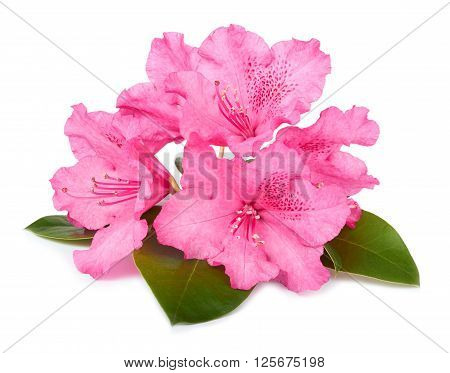 The Blossoming Branch Of A Pink Oleander Isolated On A White Background