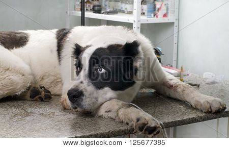 sick dog in a veterinary clinic is laying on the table