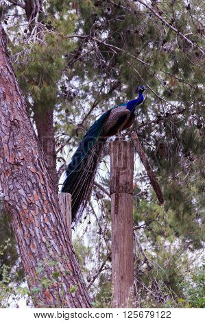 Peacock sitting in the forest on felling tree