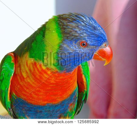 The rainbow lorikeet close up at home