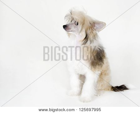 Cute Chinese Crested dog (Powderpuff variety puppy) on a white background with copy space on the left for your text