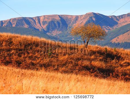 Picturesque view orange grass on mountain slopes and lonely tree.