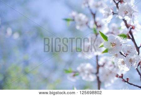 Branch with beautiful apricot flowers against the background of a blue sky in the spring as a flower spring background (selective focus on the flowers with copy space on the left for your text)