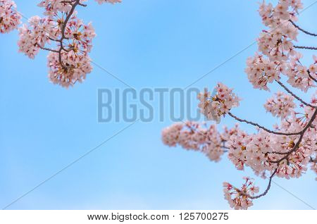 Pink cherry blossoms with blue sky background behind in Tokyo Japan ; Selective focus