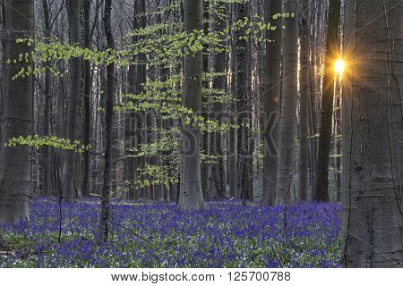 Hallerbos spring sunrise. Enchanted beech forest sunrise first light on the bluebells and wood anemones. Sun rays between the tree trunks.