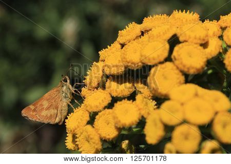 A skipper butterfly rests on yellow flowers.