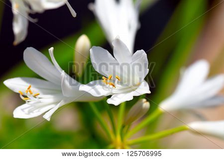 White Agapanthus flowers blooming in the garden