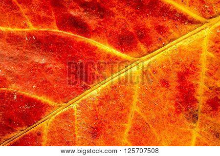 Rhizophora mangle leaf close up as a background