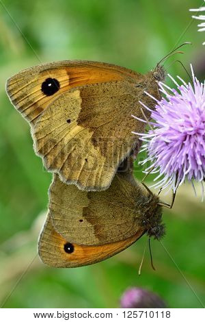 Meadow brown butterflies (Maniola jurtina) in cop. A pair of familiar grassland butterflies mating whilst feeding on creeping thistle