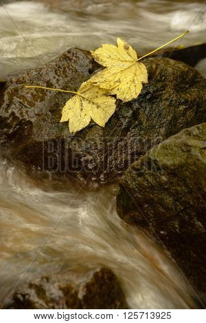 Two leaves on a stone in brook