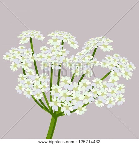 Daucus carota common names wild carrot bird's nest bishop's lace or Queen Anne's lace. Flowering plant. Vector illustration.