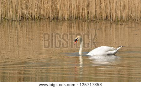 Mute Swan and reed Beds in nature reserve.