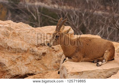 A young male  deer lying on a rock ** Note: Soft Focus at 100%, best at smaller sizes