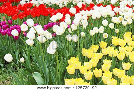 Beautiful colourful tulips in the spring garden