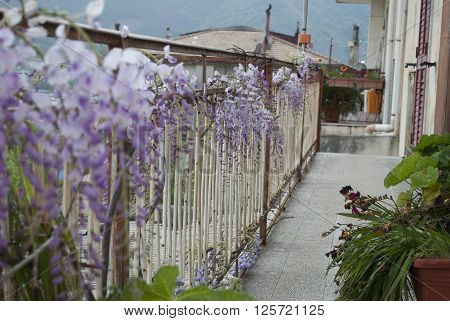 Wisteria Plant in an Old Courtyard With Other Flowers