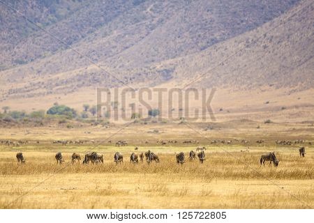 The great african plains with grass. Herds of gnus or wildebeests. Landscape in Ngorongoro, Tanzania.