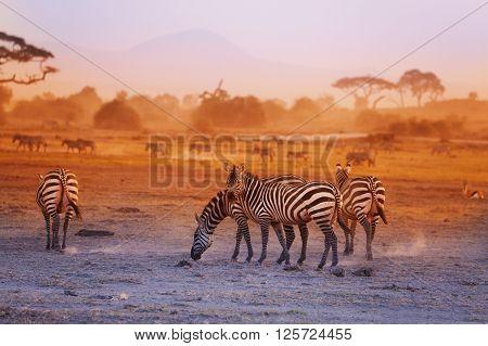 Zebras herd pasturing on savanna at sunset, Amboseli National Park, Africa