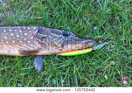 caught pike on the lure is lying on grass