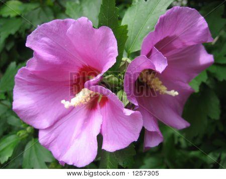 Pink Hibiskus