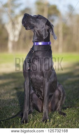 Gray Great Dane purebred sitting on some green grass outside