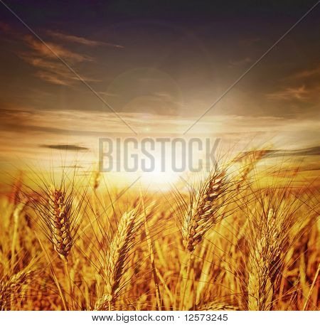 Beautiful Wheat.Sunset