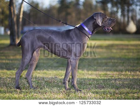 Purebred grey Great Dane out for a walk in early spring