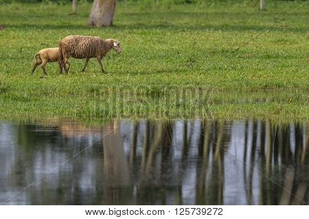 Sheeps grazing near lakeshore with water reflex ** Note: Soft Focus at 100%, best at smaller sizes