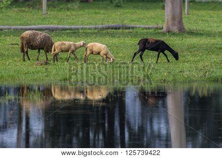 Sheeps grazing near lakeshore with water reflex