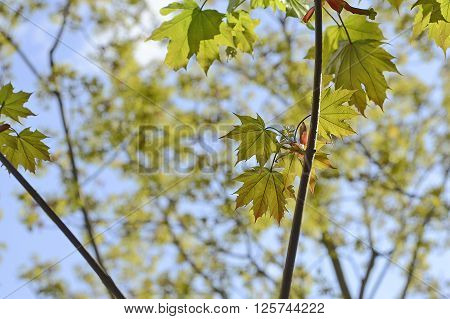 Spring maple tree brunch with young leaves