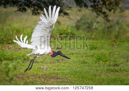 Jabiru (Jabiru Mycteria) flying - Mato Grosso do Sul - Brazil