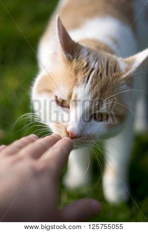 Ginger and white domestic cat sniffing a human hand