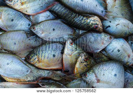 fresh white gourami fish background for cooking