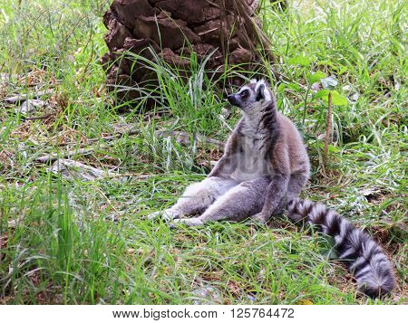 Lemur catta sitting in the grass and loocking to distance