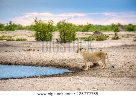 A landscape of lioness standing next to a water source like a dam or river while looking up almost like she got a scent in the air.