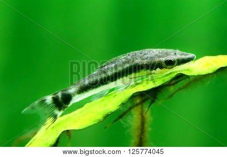 Closeup of an otocinclus in planted aquarium ** Note: Soft Focus at 100%, best at smaller sizes
