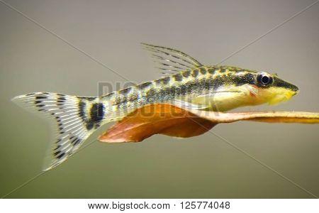 Close up of otocinclus in planted aquarium ** Note: Soft Focus at 100%, best at smaller sizes