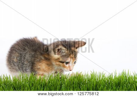 Orange black and white tricolor calico tortie tabby kitten lunging at grass with white background