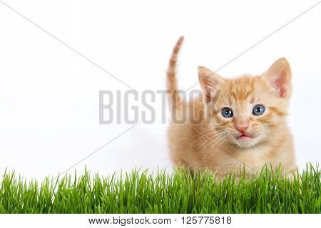 Orange Stripped Fluffy Fuzzy Kitten Looking Over Green Grass With White Background